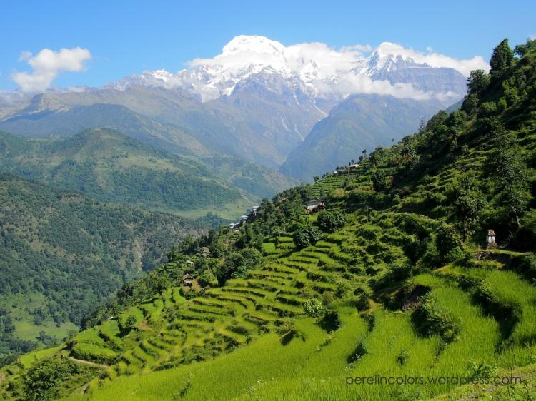 Rice terrasses on the Annapurna Basecamp trek