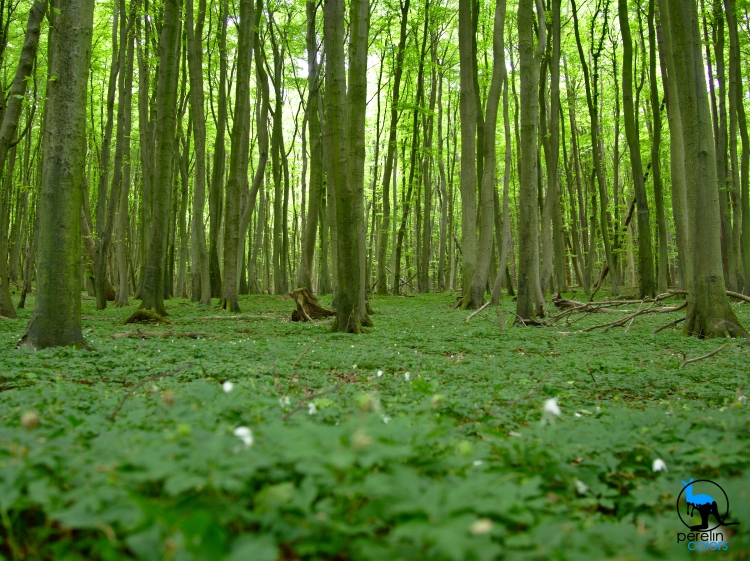 Beech forest in the North of Rügen [20mm, 1/15, F3.5, ISO200]